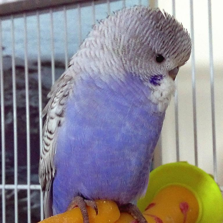 Names for a lilac/violet budgie-img_20150614_233306.jpg