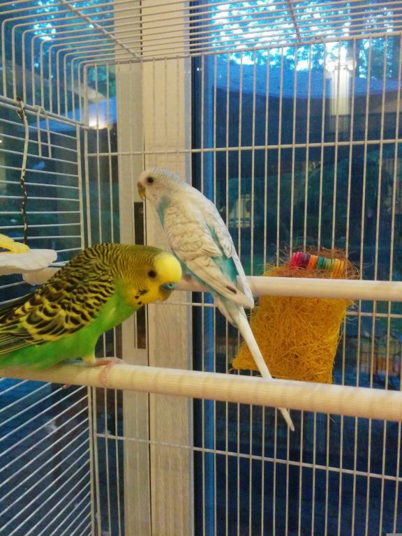 Have to rehome my two lovely budgies-img_20150718_205810%5B1%5D.jpg