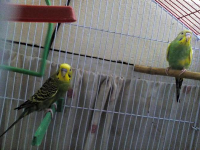 Age/Gender of Budgies and are they ready for Breeding?-img_20150817_160152_1439811045738.jpg
