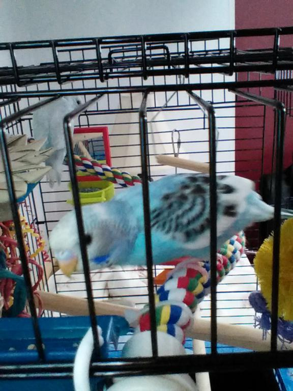 Help with gender and color mutation for budgies-img_20150818_155557.jpg
