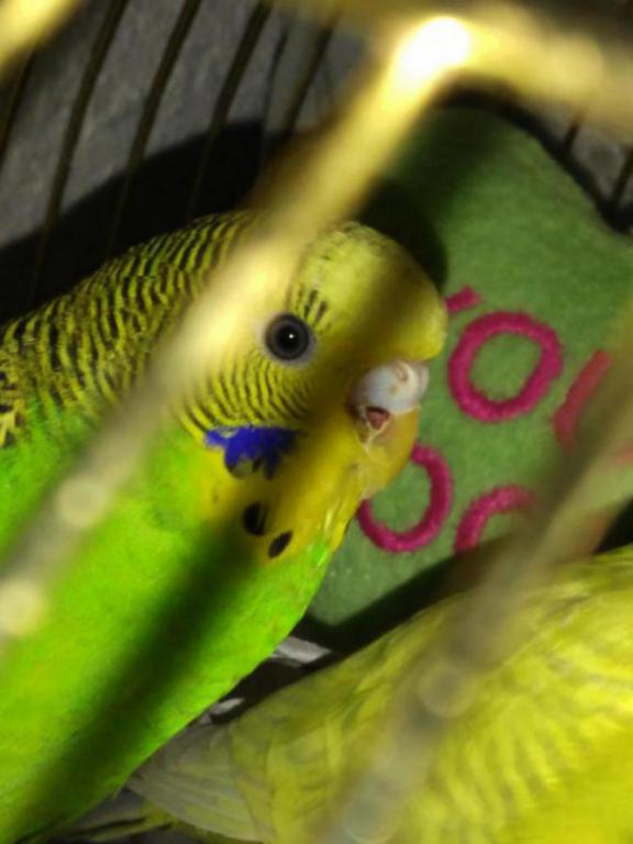 Budgie has a wound !!-img_20160113_190030_1452742380939.jpg