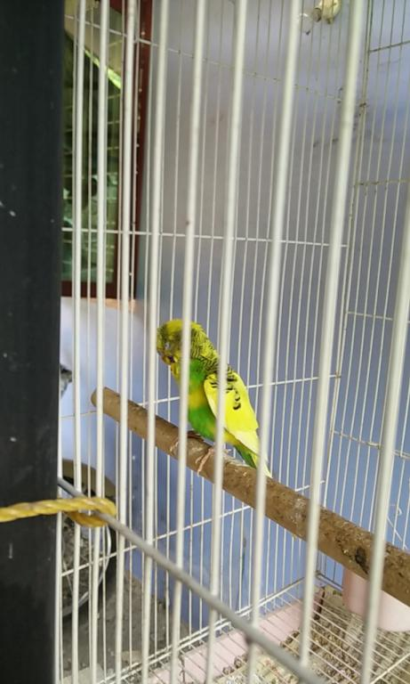 Need help for a sick budgie-img_20170222_150111.jpg