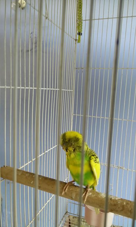 Need help for a sick budgie-img_20170222_150125.jpg
