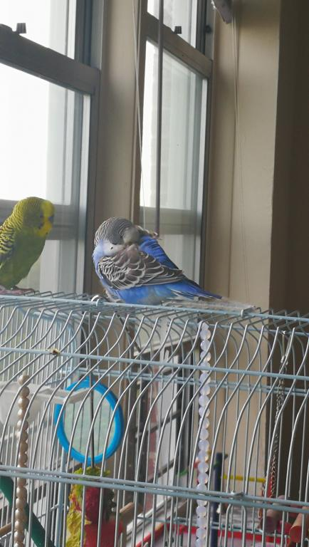 Sick budgie, yellow vent, runny dropping, please help-img_20170724_182442.jpg