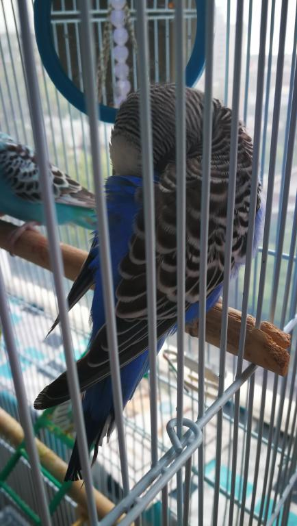 Sick budgie, yellow vent, runny dropping, please help-img_20170725_075035.jpg