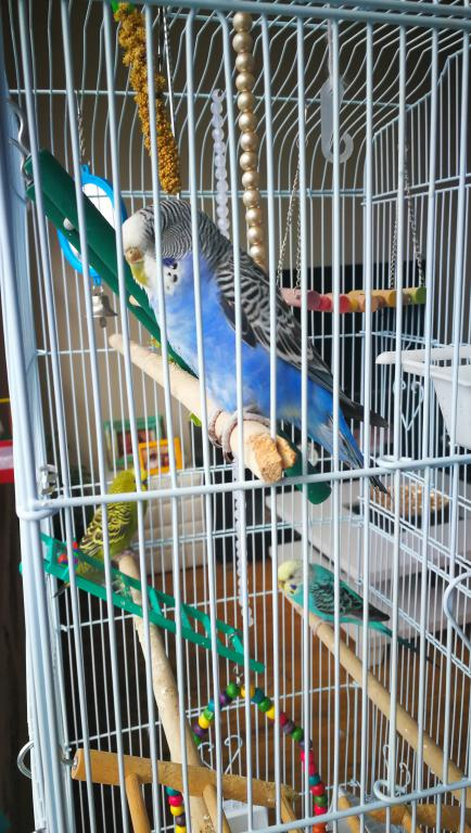 Sick budgie, yellow vent, runny dropping, please help-img_20170725_090437.jpg