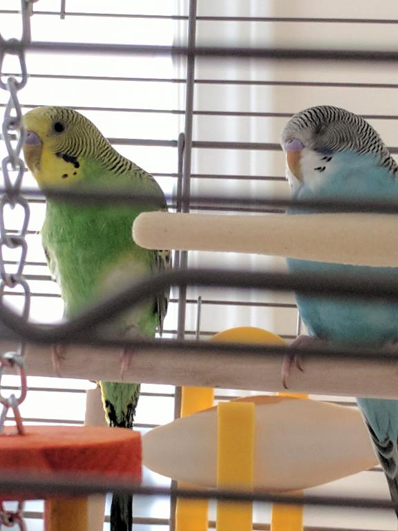New Budgie to Join Kanna!!-img_20171008_160333.jpg