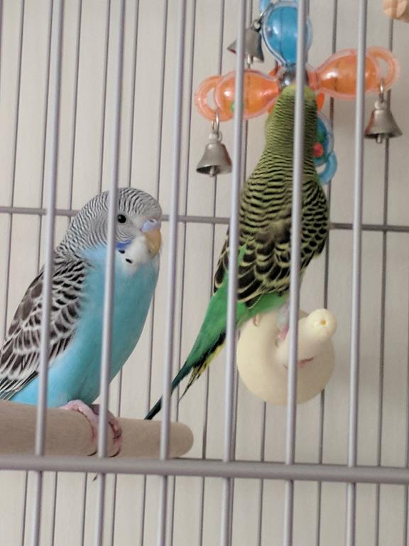 New Budgie to Join Kanna!!-img_20171008_173105.jpg