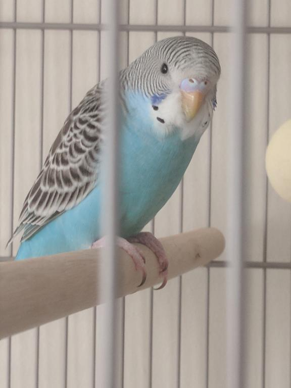 New Budgie to Join Kanna!!-img_20171008_173821.jpg