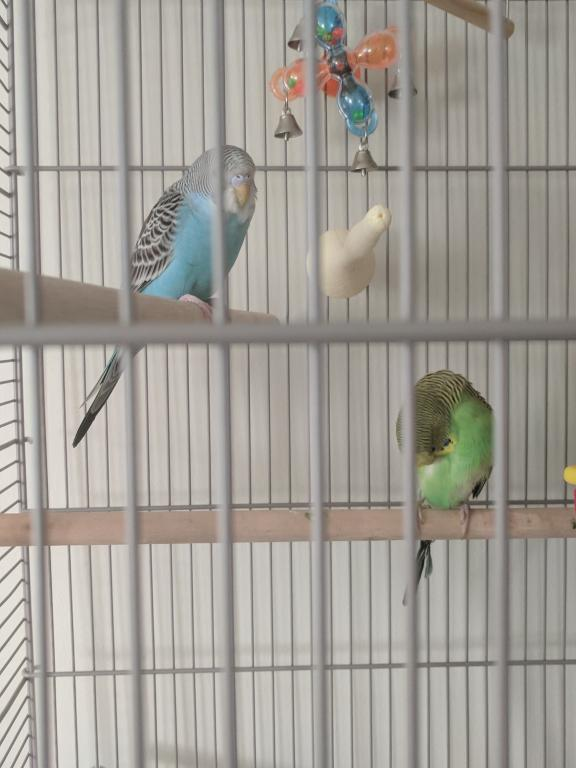 New Budgie to Join Kanna!!-img_20171008_173827.jpg