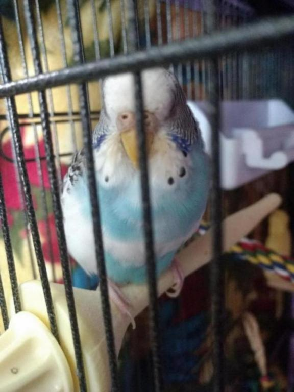 Budgie was sick but is getting better-img_20180508_135327438_1525961137903.jpg