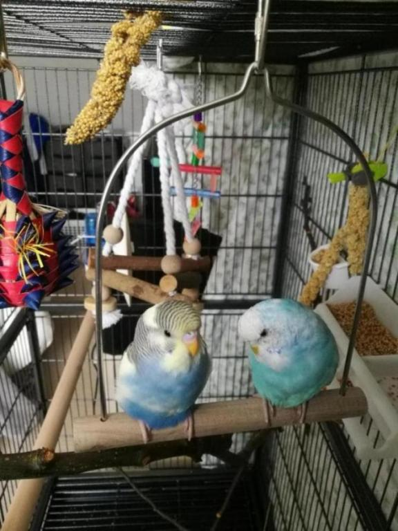 What type are my budgies?-img_20180610_074511_1528741011396.jpg