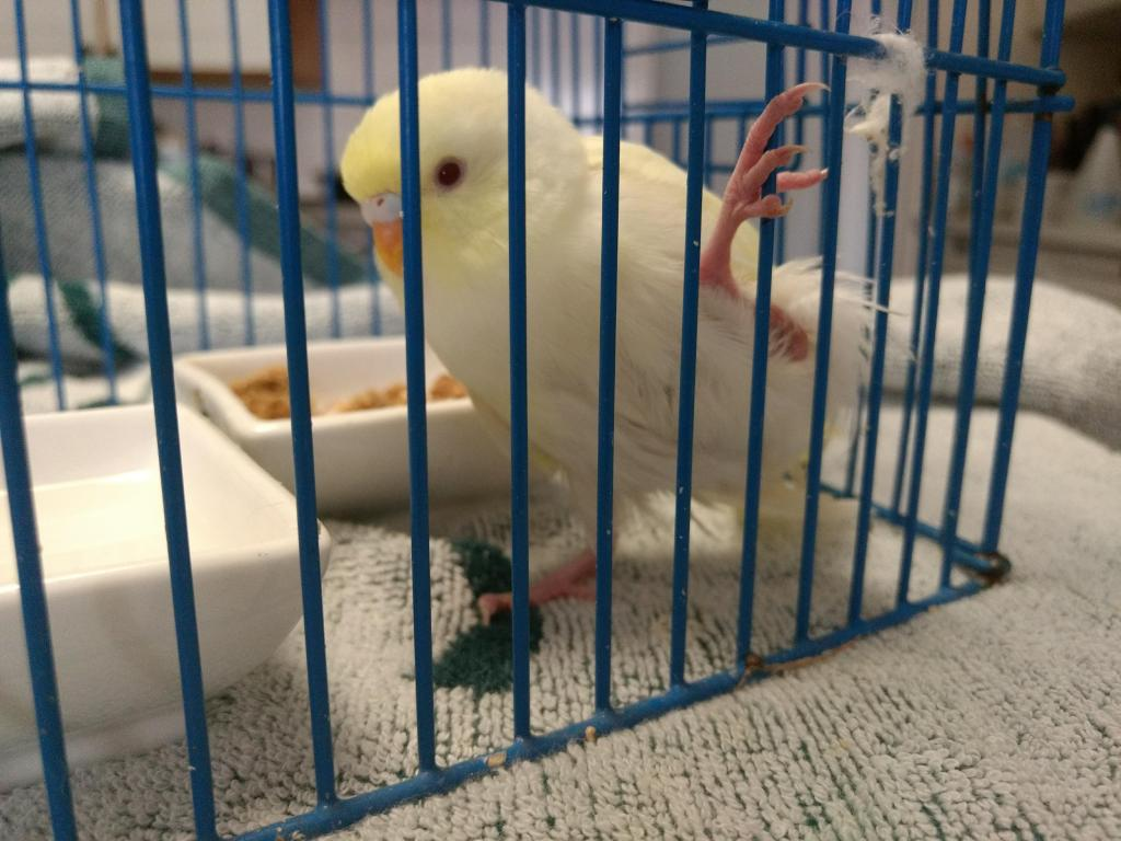Help pls - trying to save baby budgie-img_20181229_124528919.jpg