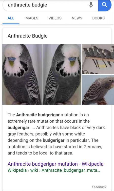 anthracite budgie-img_20190124_195243_1548350760287.jpg