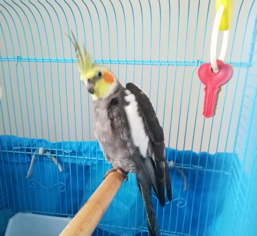 My new cockatiel-img_20190302_143636.jpg