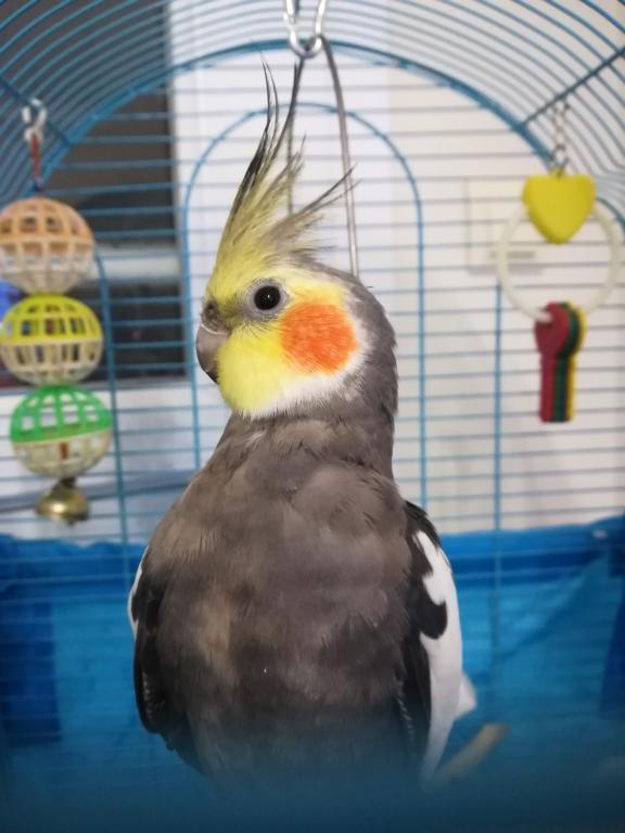 My new cockatiel-img_20190302_210704.jpg