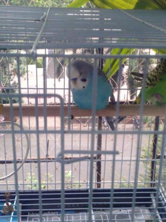 What is happening with my budgie suddenly?-img_20200602_085202_1591075000993.jpg