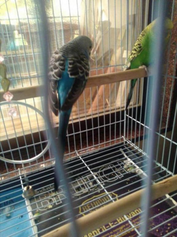 What is happening with my budgie suddenly?-img_20200602_103524_1591075032183.jpg