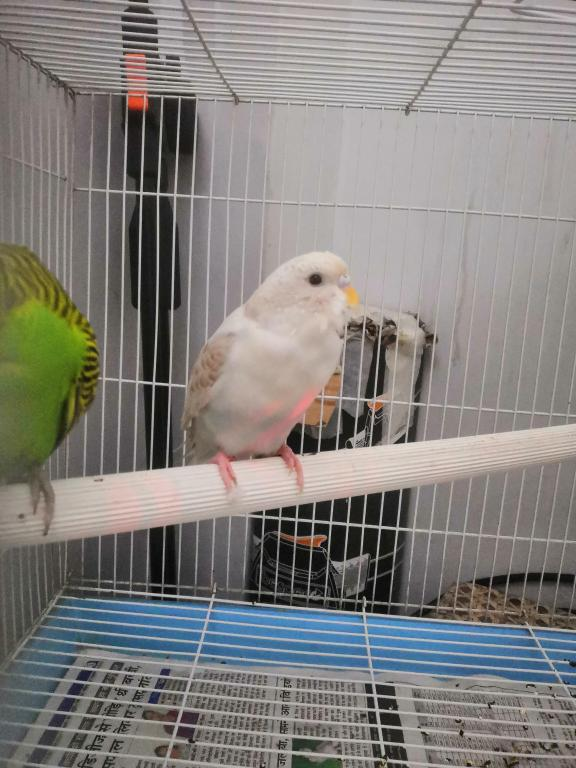 Got A New Budgie after 4 Years-img_20200807_133842.jpg