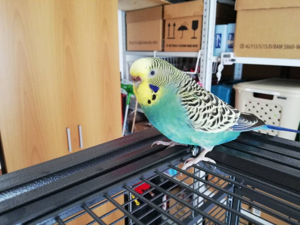 Budgie stopped eating veggies-img_20200902_122835.jpg
