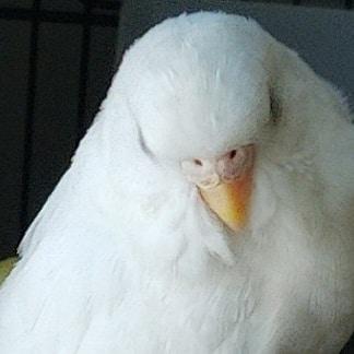 My Albino Budgie-img_20210204_083359_202_1612447256108.jpg