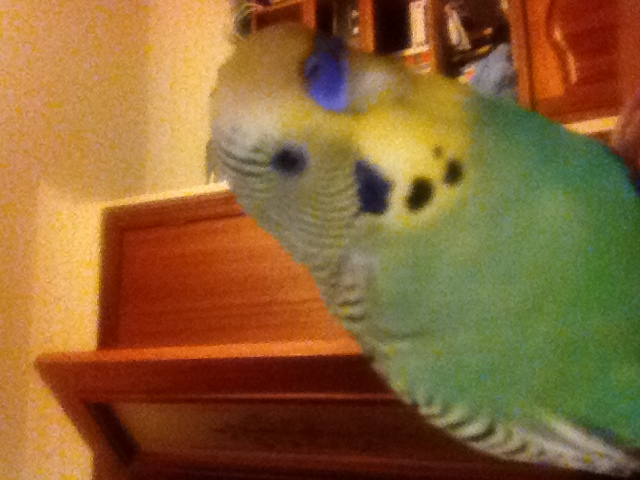 We love our first ever budgie!-img_2315.jpg