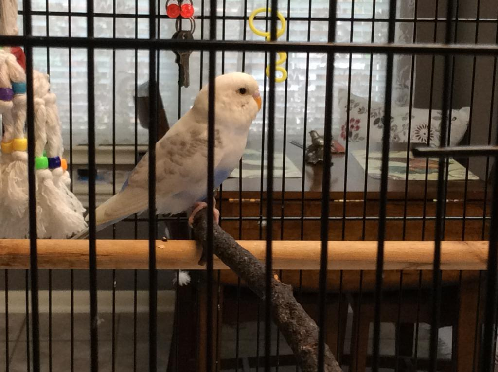 Gender of new Budgie received from Animal Control-img_2322.jpg