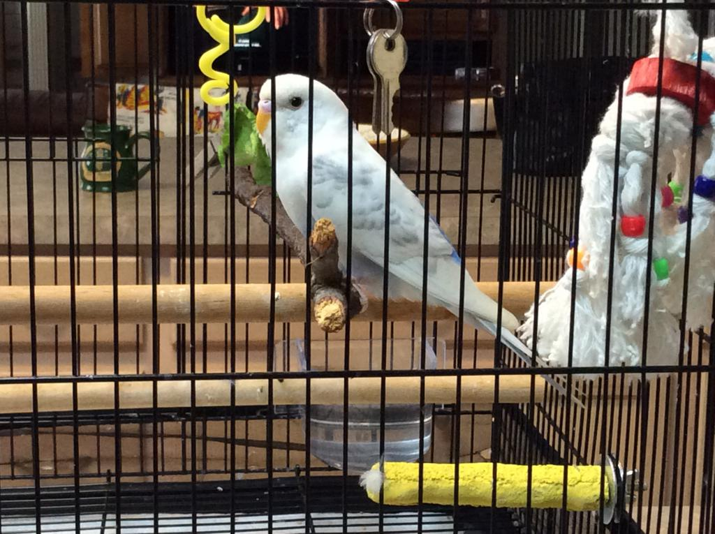 Gender of new Budgie received from Animal Control-img_2323.jpg