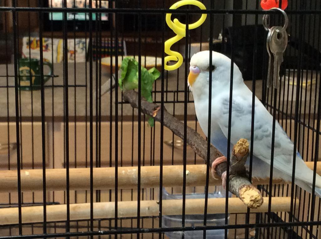 Gender of new Budgie received from Animal Control-img_2324.jpg