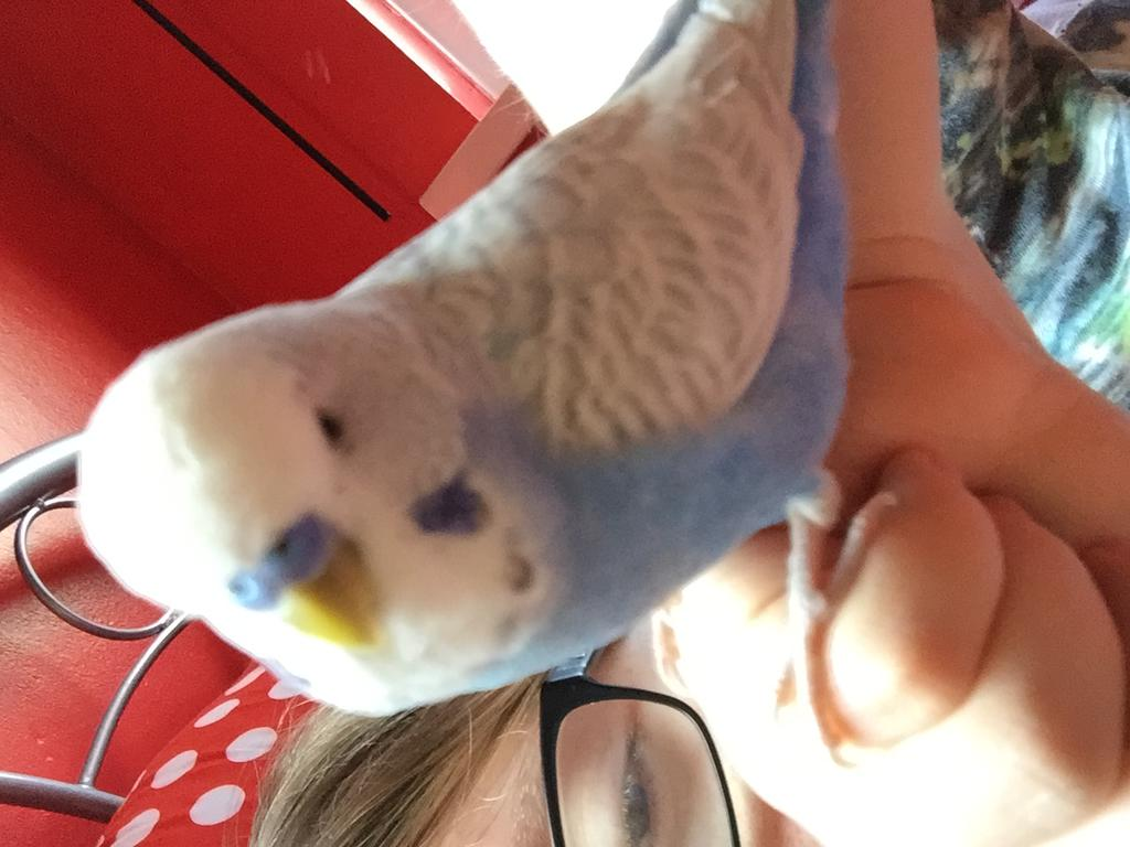 Budgie Escaped (Hampshire, England)-img_2447.jpg