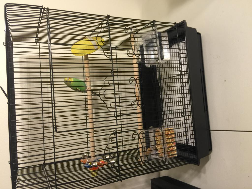 2 parakeets fighting after living peacefully-img_2695.jpg
