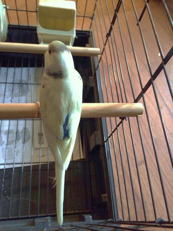 My New Baby Budgie-img_2970.jpg