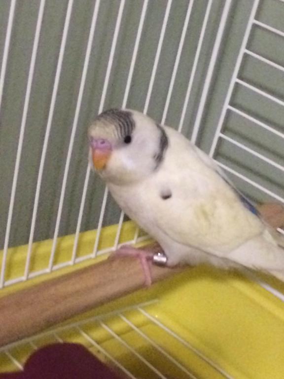 My New Baby Budgie-img_2978.jpg