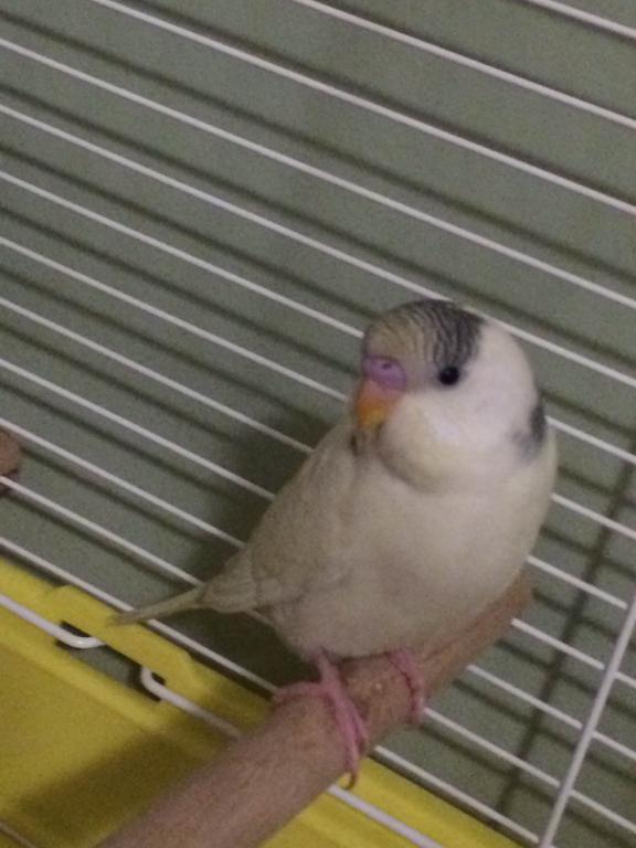 My New Baby Budgie-img_2983.jpg