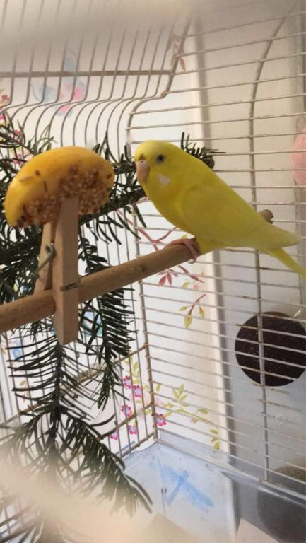 Assistance and Tips for Bonding with Older Budgie-img_3327.jpg