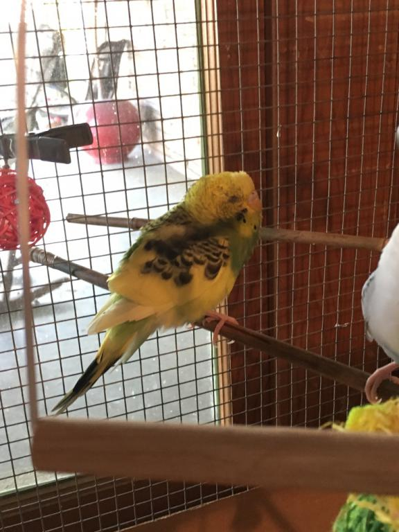 Is my budgie sick??-img_3401.jpg