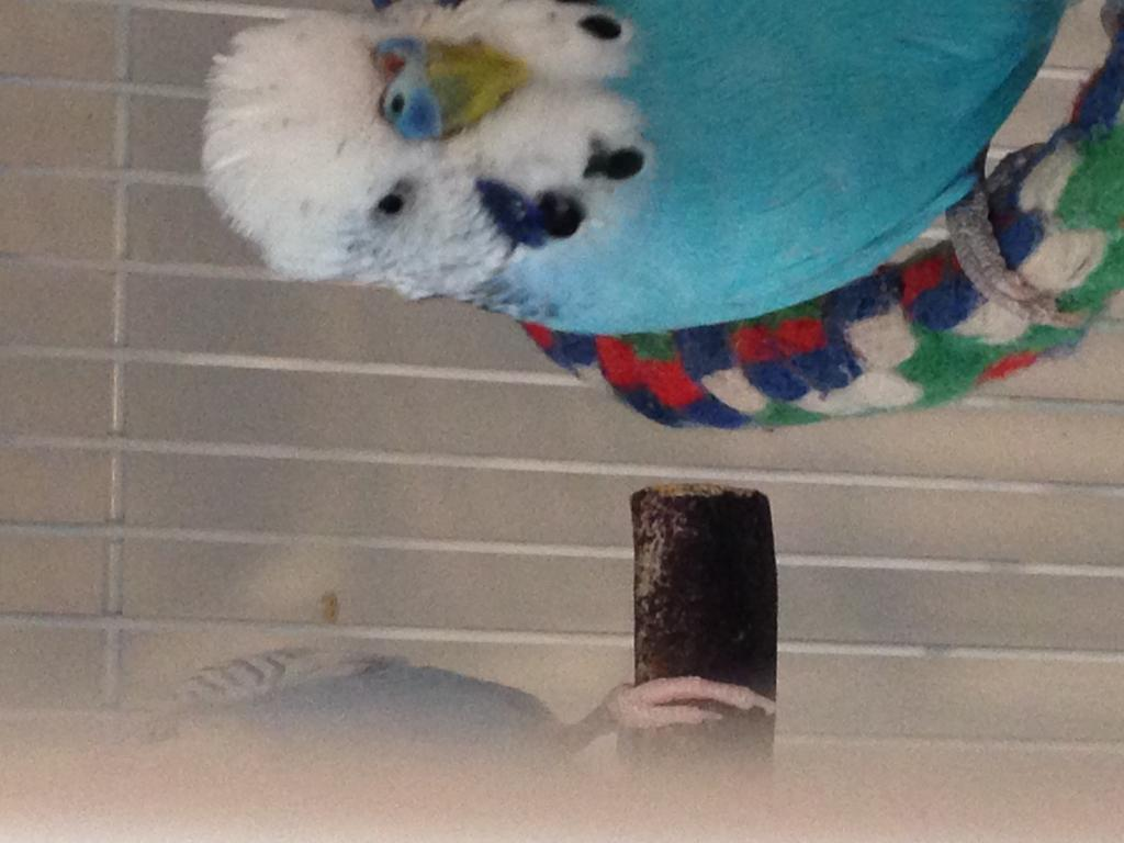 Budgie has something on his cere! Does anyone know what this is?!-img_4111.jpg