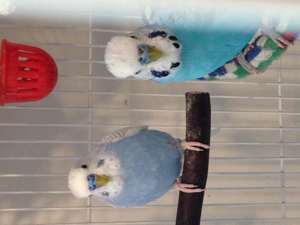 Budgie has something on his cere! Does anyone know what this is?!-img_4113.jpg