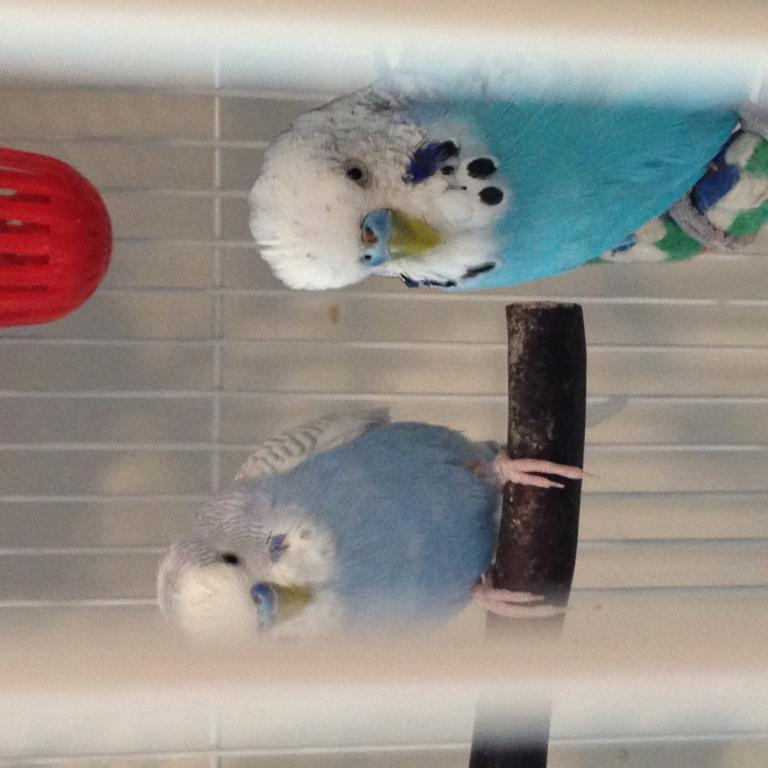 Budgie has something on his cere! Does anyone know what this is?!-img_4115.jpg