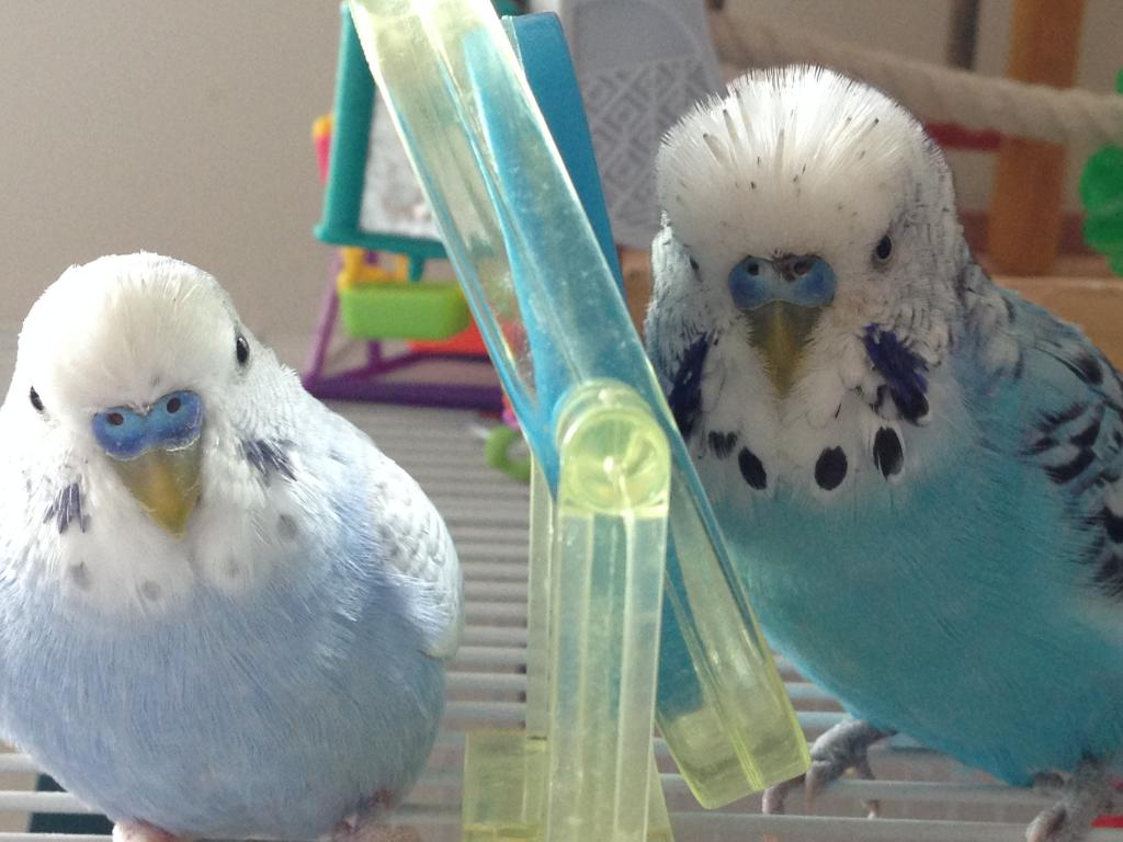 Budgie has something on his cere! Does anyone know what this is?!-img_4125.jpg