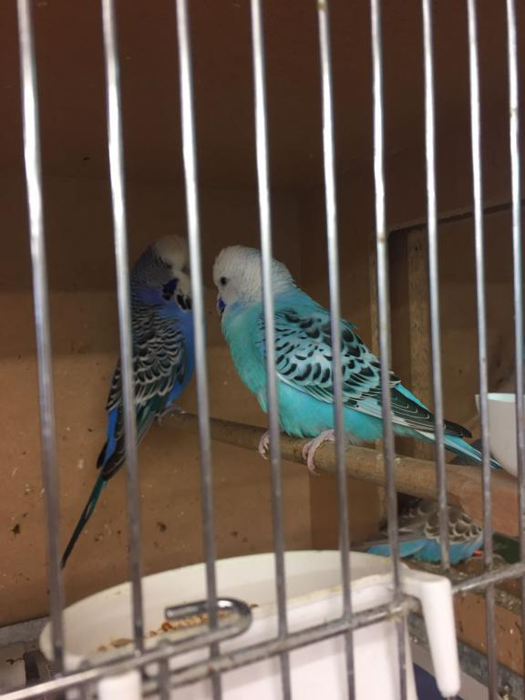 Bonding with two budgies?-img_4136.jpg
