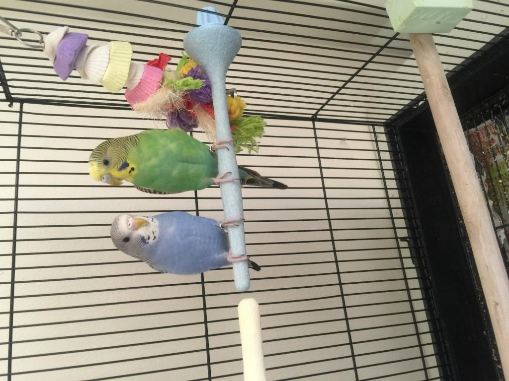 2 parakeets fighting after living peacefully-img_4168.jpg