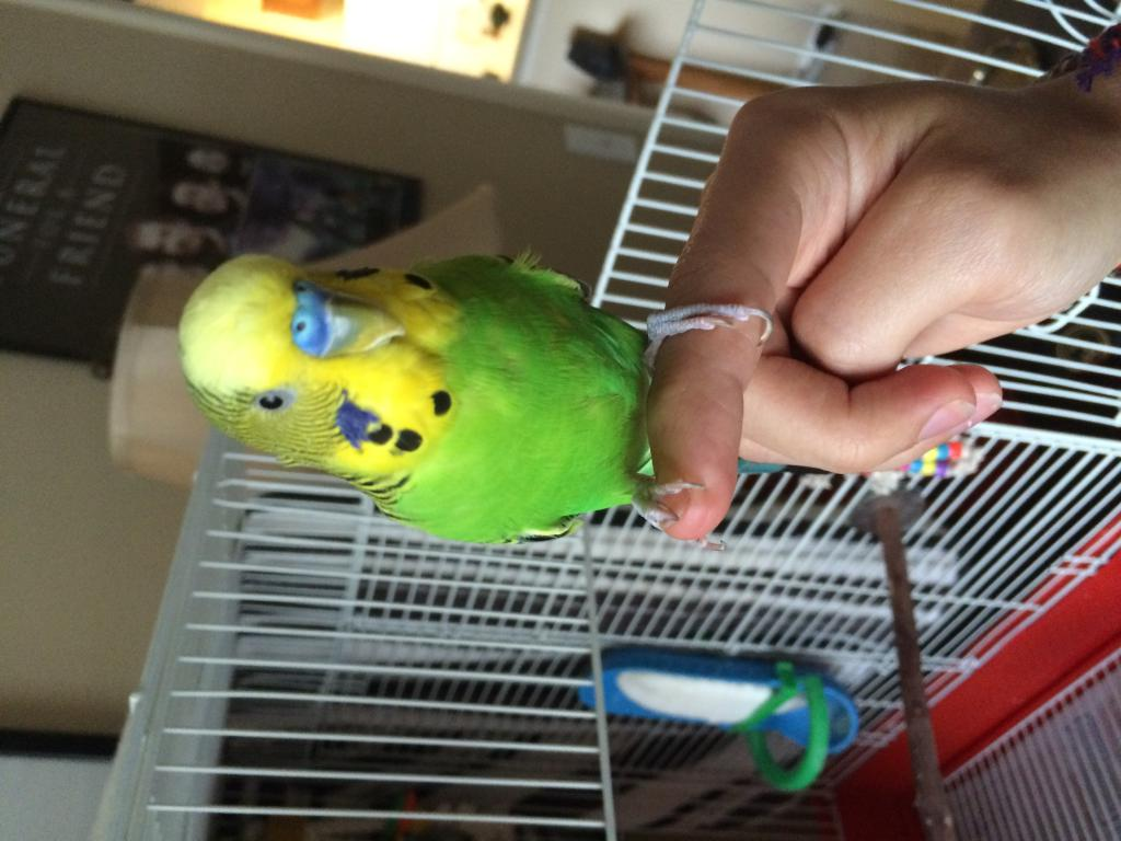 Two new budgies - tame but shy-img_4963.jpg