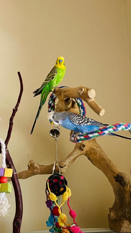 Rehoming budgies - Parker, CO USA-img_5633.jpg