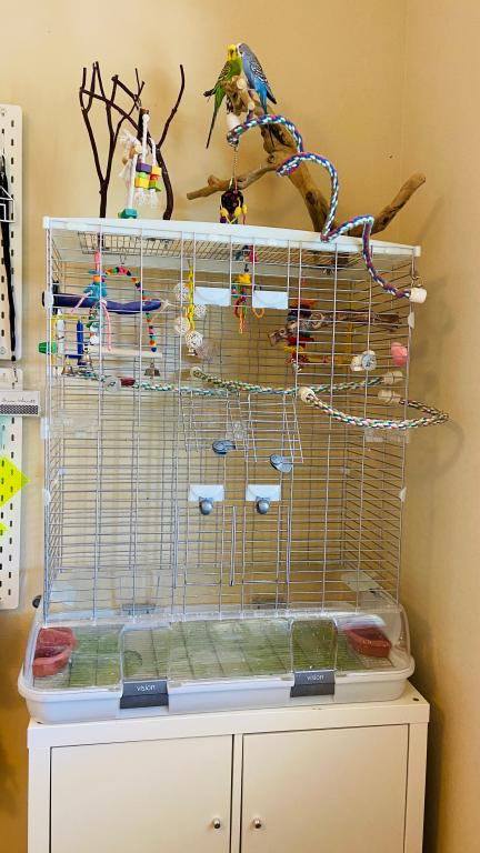 Rehoming budgies - Parker, CO USA-img_5636.jpg