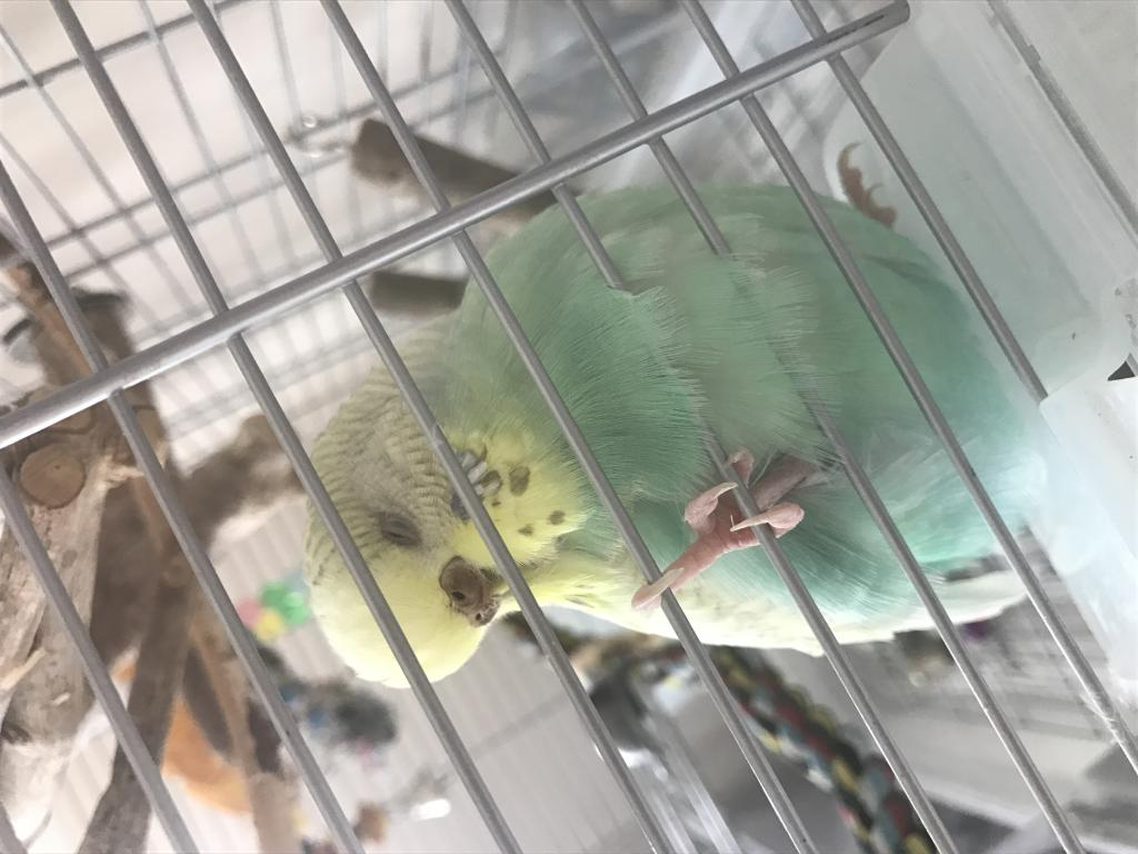 Introducing a new budgie to an older one-img_5852.jpg