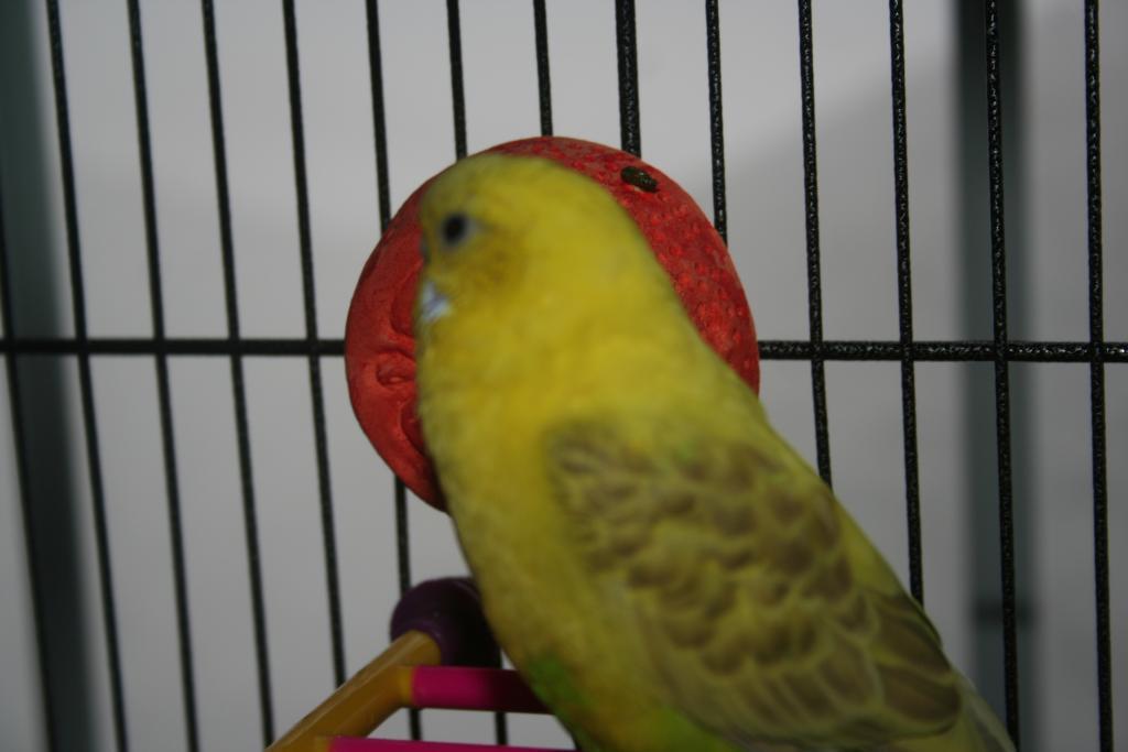 My new budgie 'Nana-img_5939.jpg