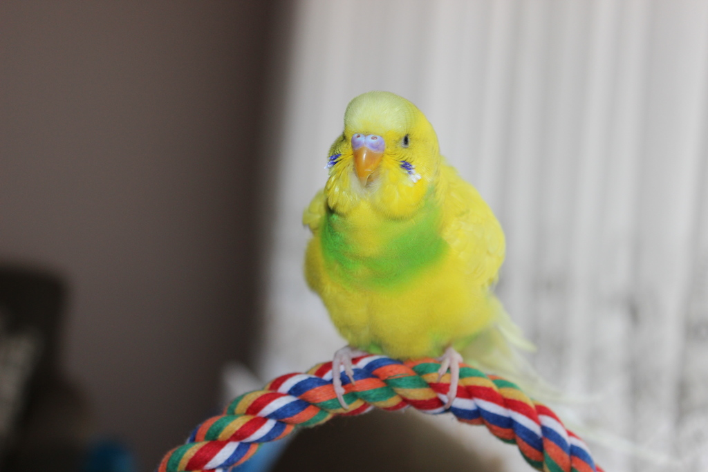 Does my budgies cere look normal?-img_6264.jpg