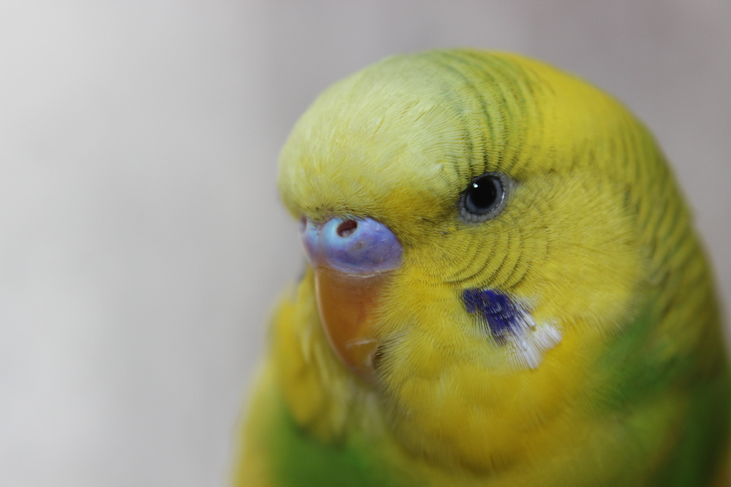 Does my budgies cere look normal?-img_6272.jpg