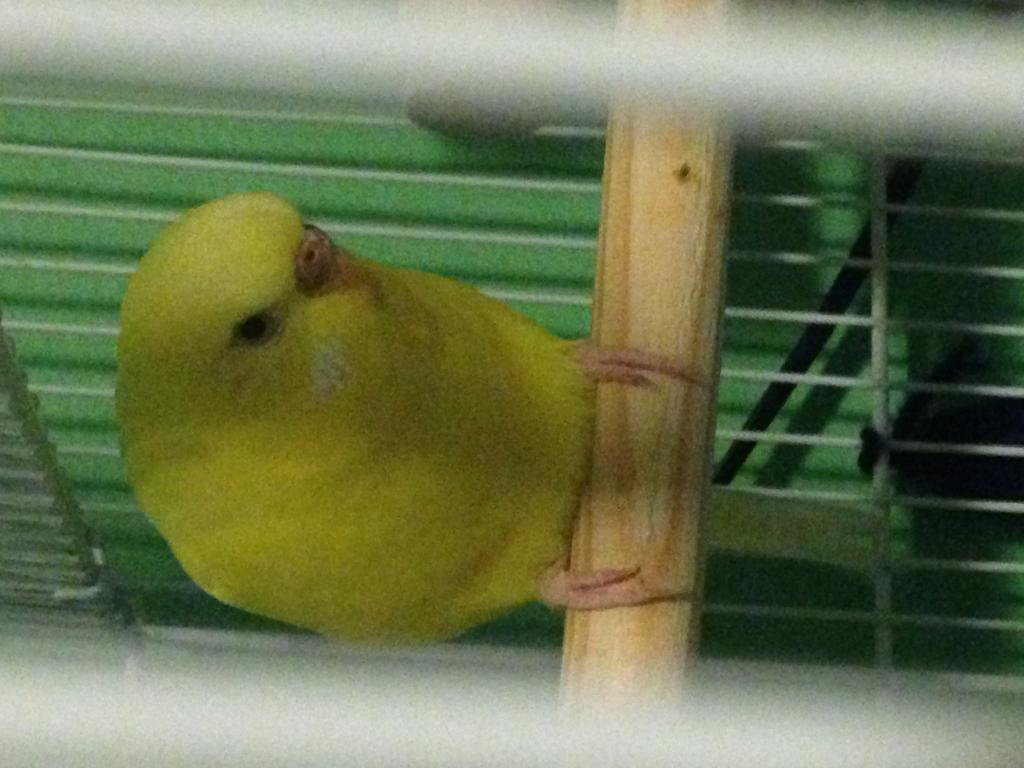 How can I tell if my budgie is going to have a baby?-img_6419.jpg